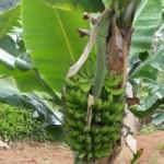 Banana-Kanaani-web-300