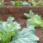 Cabbage-Kanaani-web-300