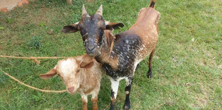 Goats-222