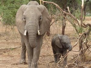 Elephant-Mama-300x225