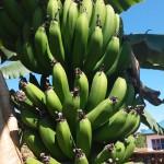 Banana Kanaani