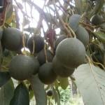 Avocados vom eigenen Baum